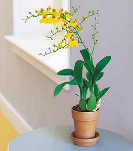 Yellow Oncidium Orchid